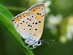 Lycaena alciphron, Violetter Feuerfalter, Slowenien