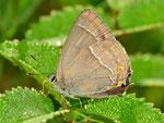 Favonius quercus, Blauer Eichen-Zipfelfalter
