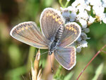 Aricia agestis, Sonnenröschen-Bläuling, Männchen