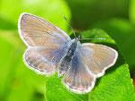 Plebejus optilete, Hochmoor-Bläuling, Weibchen, Schweden