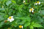 蝶やミツバチなどの貴重な蜜源、タチアワユキセンダングサ