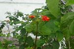 蝶やミツバチなどの貴重な蜜源、ランタナ