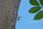 カエンボクを登るカマキリの子供。