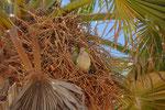Viele Papageien nisten hoch oben in den Palmen
