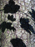 Shadow of leaves of a deciduous tree on a conifer's trunk