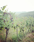 Wine in Southern Styria