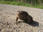 Wandernde Erdkröte (Foto: Wolfgang Voigt)