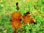 Orangerotes Habichtskraut (Foto: Wolfgang Voigt)
