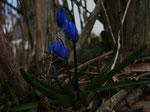 Sibirischer Blaustern (Foto: Wolfgang Voigt)