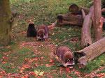 Waschbären (Foto: Wolfgang Voigt)