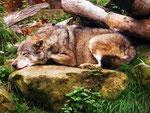 Wolf im GaiaZoo (Foto: Wolfgang Voigt)