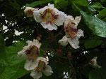 Blüten vom Trompetenbaum (Foto: Wolfgang Voigt)