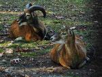 Mufflon-Paar (Foto: Wolfgang Voigt)