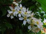 Blütenstand der Trauben-Kirsche (Foto: Wolfgang Voigt)