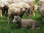 Schafe als Landschaftspfleger (Foto: Wolfgang Voigt)