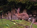 Zucht-Kaninchen: Flämischer Riese (Foto: Wolfgang Voigt)