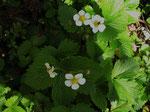 Wald-Erdbeere (Foto: Wolfgang Voigt)