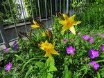 Blühende Taglilien (Foto: Wolfgang Voigt)