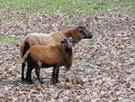 Kamerunschafe im Alsdorfer Tierpark (Foto: Wolfgang Voigt)