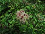 Fruchtstand der Waldrebe (Foto: Wolfgang Voigt)