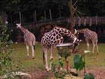 Rothschild-Giraffen (Foto: Wolfgang Voigt)