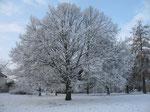 Winter-Linde in Ofden, ehemalige Hauptschule (Foto: Wolfgang Voigt)