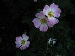 Blüten der Hundsrose (Foto: Wolfgang Voigt)