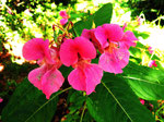 Blüten vom Drüsigen Springkraut (Foto: Wolfgang Voigt)