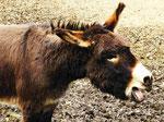 Esel (Foto: Wolfgang Voigt)