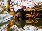 Rotwangen-Schmuckschildkröte (Foto: Wolfgang Voigt)