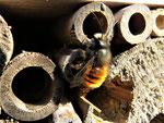 Gehörnte Mauerbiene am Insektenhotel (Foto: Wolfgang Voigt)
