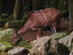 Großer Kudu im GaiaZoo (Foto: Wolfgang Voigt)