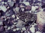 Wechselkröte (Foto: Wolfgang Voigt)