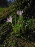 Frühlingsboten (Foto: Wolfgang Voigt)
