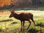 Rothirsch im Alsdorfer Tierpark (Foto: Wolfgang Voigt)
