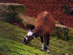 Lama im Alsdorfer Tierpark (Foto: Wolfgang Voigt)