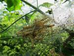 Raupen-Nest von der Pfaffenhütchen-Gespinstmotte (Foto: Wolfgang Voigt)