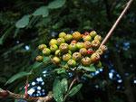 Fruchtansatz bei der Vogelbeere (Foto: Wolfgang Voigt)