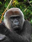 Gorilla-Porträt (Foto: Wolfgang Voigt)