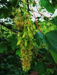 Berg-Ahorn: Von der Blüte zur Frucht (Foto: Wolfgang Voigt)