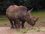 Breitmaul-Nashorn im GaiaZoo (Foto: Wolfgang Voigt)