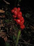 Fruchtstand des Aronstab (Foto: Wolfgang Voigt)