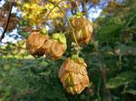 Fruchtender Hopfen (Foto: Wolfgang Voigt)