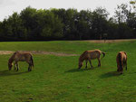 Przewalski-Pferde in Kerkrade (Foto: Wolfgang Voigt)