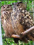 Uhus, Alsdorfer Tierpark (Foto: Wolfgang Voigt)