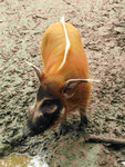 Pinselschwein im Gaia-Zoo (Foto: Wolfgang Voigt)