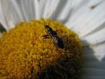 Ameisenwanze (Foto: Wolfgang Voigt)