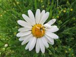 Margerite mit Blütenanomalie (Foto: Wolfgang Voigt)
