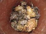 Geschützte Erdkröten und Grasfrösche in Auffangeimern, - die meisten auf der Gymnasiumseite