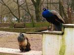 Pfau-Paar im Alsdorfer Tierpark (Foto: Wolfgang Voigt)
